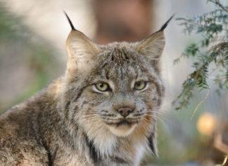 Voici le lynx du Canada… attendez de voir comment il est magnifique ! │Minibuzz