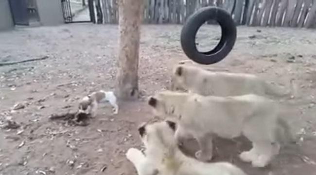 découvrez la réaction d'un chiot quand 3 lionceaux veulent lui prendre sa nourriture !