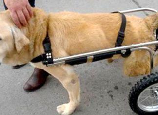 Une femme adopte les chiens handicapés de sa région et leur redonne espoir…. Attendez de voir ce qu'elle réussit à faire ! | MiniBuzz