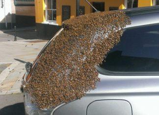 Pendant 2 jours, plus de 20,000 abeilles pourchassent sa voiture... Attendez de voir ce qu'il avait dans le coffre !
