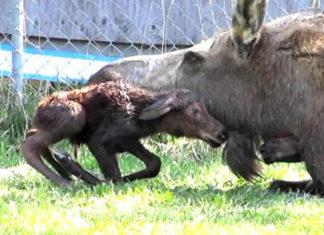 Une maman orignal vient de donner naissance a un bébé… Attendez de voir la suite ! | MiniBuzz