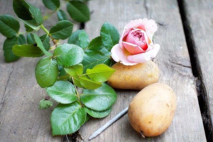 L'astuce La Plus Simple Et La Plus Naturelle Pour Obtenir Une Plante De Rose D'une Branche │MiniBuzz