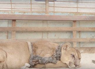 Ce puma a été attaché pendant plus de 20 ans dans la boite d'un camion…. attendez de le voir aujourd'hui !   MiniBuzz