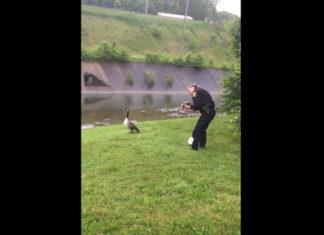 Cette oie essaye à plusieurs reprises d'attirer l'attention d'un policier. Finalement lorsque ce dernier décide de suivre l'oiseau, il comprend pourquoi !