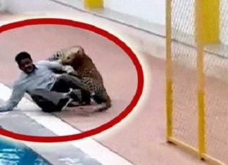 Un léopard attaque et blesse 6 personnes dans une école (voir la vidéo)│MiniBuzz