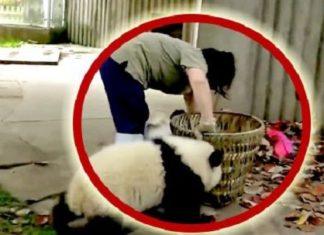 Une femme fait le nettoyage dans l'enclos des pandas, mais… Attendez de voir ce qu'il va faire !│MiniBuzz