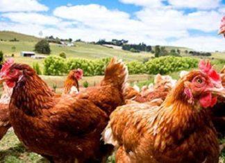 Voici ce qui se produit tous les matins dans cet élevage de poules en plein air ( voire la suite)│MiniBuzz