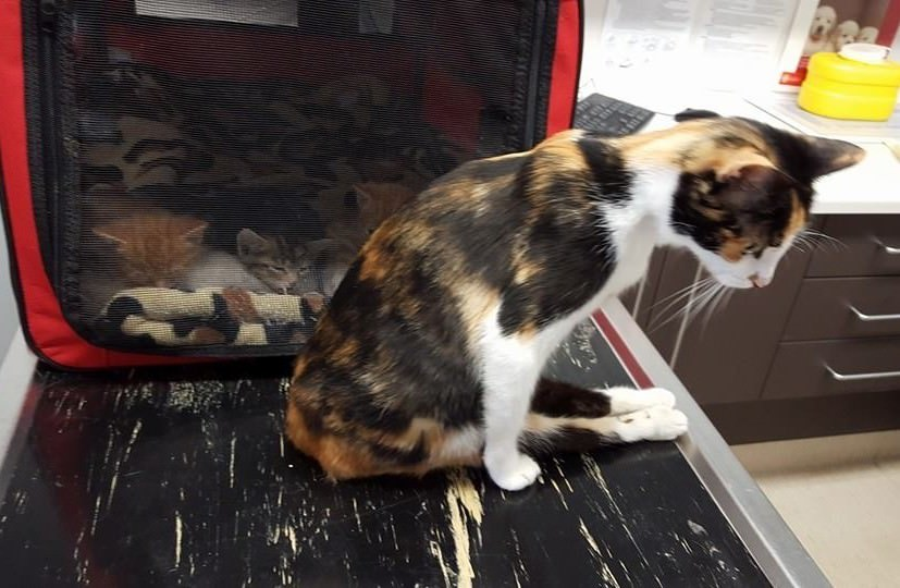 Handicapée aux jambes, cette maman chat se traîne jusqu'à ses petits pour s'en occuper. Regardez ça