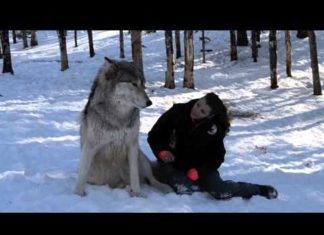 Un Loup Géant S'assied à Côté De Lui: Regardez Ce Qu'il Se Passe Dès Qu'elle Le Caresse ...│MiniBuzz