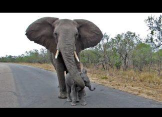 Le Petit éléphant S'approche Des Touristes... Le Geste De La Maman Va Vous Surprendre│MiniBuzz