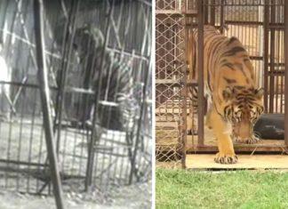 Après Des Années Passées Dans Une Cage, Un Tigre Touche L'herbe Pour La Première Fois: Sa Réaction Est Adorable   Minibuzz