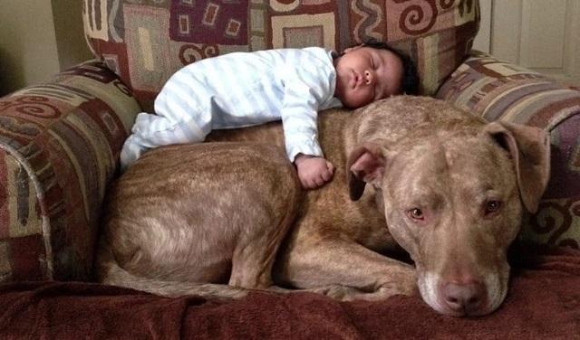 Un père panique lorsqu'il voit un pitbull se lancer vers son bébé… attendez de voir la suite ! Vous allez être trop surpris !