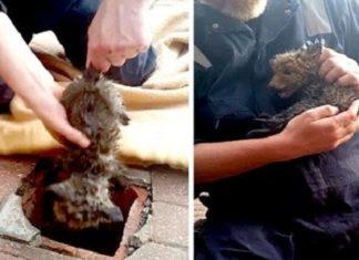 Un homme sauve la vie d'un bébé renard prisonnier dans une canalisation… attendez de voir la fin!