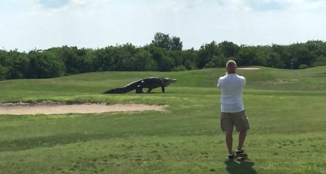 Un alligator gigantesque envahit un terrain de golf. Terrifiant et fascinant !