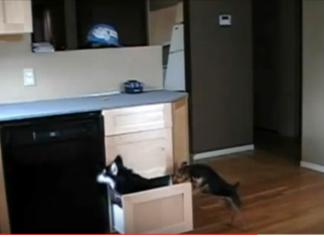 2 chiens ouvrent un tiroir dans la cuisine... Ce qu'ils vont faire va laisser leur maître bouche bée!
