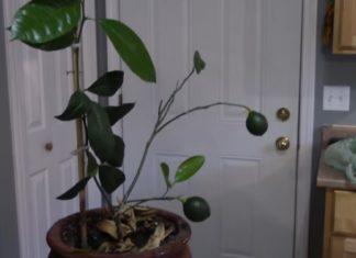 Voici comment faire pousser un citronnier à partir d'un fruit.│ MiniBuzz