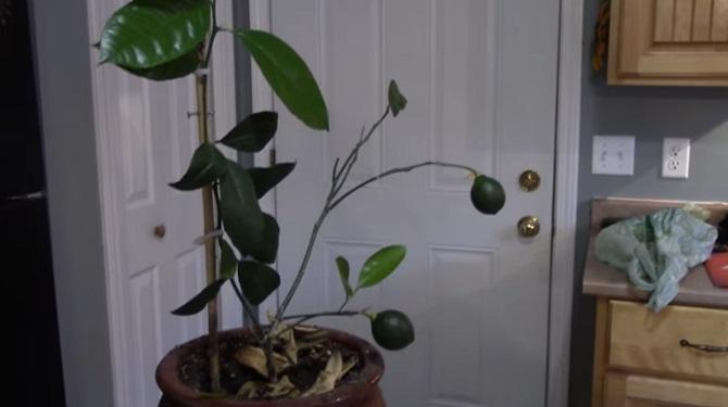 Voici comment faire pousser un citronnier à partir d'un fruit.