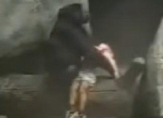 En 1996, un enfant tombe dans l'enceinte d'un zoo. La réaction du gorille a laissé tout le monde stupéfait.│MiniBuzz