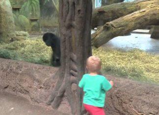 L'enfant observe le gorille : ce qu'il se passe après surprend tout le monde!