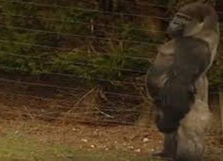 Tout le monde regarde ce gorille. La raison? Regardez-le marcher ...