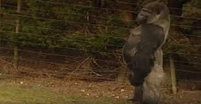 Tout le monde regarde ce gorille. La raison? Regardez-le marcher …