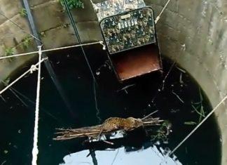 Un léopard tombe dans une citerne : L'intervention des citoyens lui sauve la vie.│ MiniBuzz