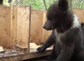 Les bénévoles d'un refuge nourrissent les ours orphelins : voilà ce qui se passe tous les jours !