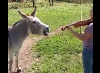 Elle commence à jouer du violon, mais elle ne s'attend pas à cette réaction de l'âne !│MiniBuzz