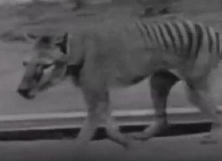 Animaux disparus : Voici les rares images d'espèces qu'on ne verra plus jamais en vrai. │ MiniBuzz