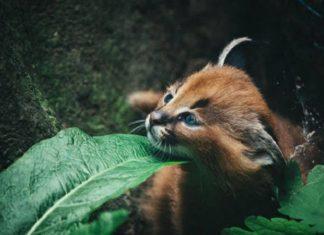 16 photos de bébés caracals, l'animal le plus majestueux du monde. │ MiniBuzz