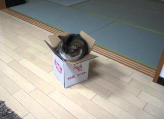 Un chat et sa boîte : les tentatives qu'il fait pour y entrer vous feront bien rire !