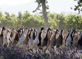 Une armée de mille canards pour protéger les vignes !│MiniBuzz