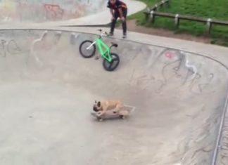 Le bouledogue monte sur le skate : quand il va se lancer vous n'en croirez pas vos yeux