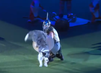 L'habilité de ce chien et de son entraîneur va au-delà de l'imaginable : les voici dans un duel entre gladiateurs!
