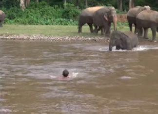 Persuadé d'assister à la noyade d'un humain, un éléphant se jette à l'eau ! │ MiniBuzz