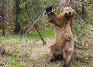 Des ours qui se grattent le dos : une vidéo hilarante avec une musique PARFAITE