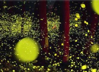 Des milliers de lucioles photographiées au Japon : surréaliste ! │ MiniBuzz