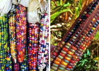Avant qu'on ne le manipule, le maïs était coloré ! La preuve. | MiniBuzz