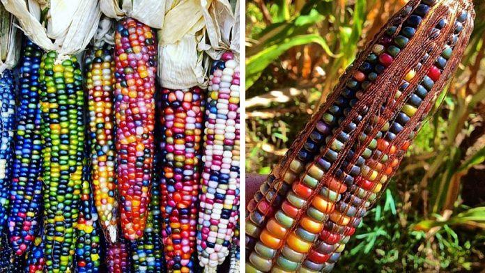 Avant qu'on ne le manipule, le maïs était coloré ! La preuve.