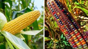 Avant qu'on ne le manipule, le maïs était coloré ! La preuve.   MiniBuzz