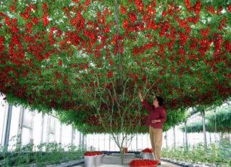 Octopus Tree : la plus grande plante de tomates du monde │MiniBuzz