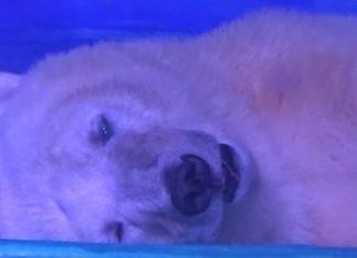 Un ours polaire exhibé dans un centre commercial ? Sauvons-le ! │MiniBuzz