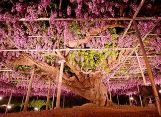 Japon : le plus bel arbre du monde se trouve dans le parc Ashikaga | MiniBuzz