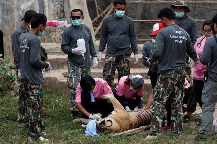 137 tigres évacués d'un temple bouddhiste en Thaïlande !