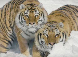 tigres filmés par un drone