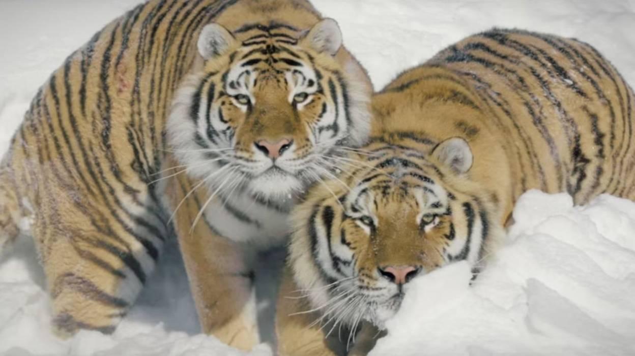 Tigres de Sibérie filmés depuis un drone : des images superbes !