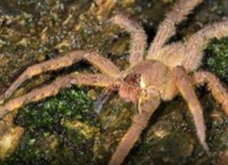 La piqûre de cette araignée provoque des érections longues de 4 heures ! │ MiniBuzz
