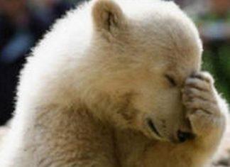 Donald Trump vient d'autoriser le massacre des ours et des loups et même de leurs bébés! │ MiniBuzz