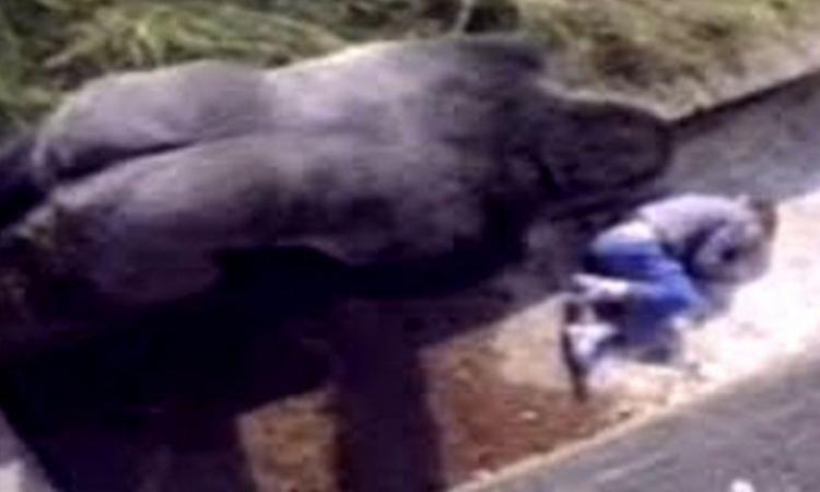 En 1986, un garçon de 5 ans était tombé dans un enclos à gorilles, voici ce que le gorille a fait!