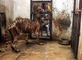 Le gardien tend un minuscule morceau de viande à ce tigre, une torture insoutenable quand on voit l'ensemble du zoo! │MiniBuzz